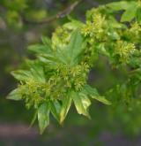 javor babyka <i>(Acer campestre)</i> / Květ/Květenství