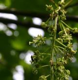 javor klen <i>(Acer pseudoplatanus)</i> / Květ/Květenství