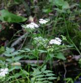 potočník vzpřímený <i>(Berula erecta)</i> / Květ/Květenství