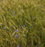 chrpa modrá  <i>(Centaurea cyanus)</i> / Porost