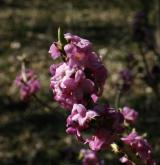 lýkovec jedovatý <i>(Daphne mezereum)</i> / Květ/Květenství
