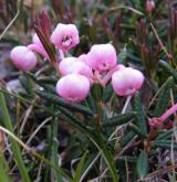 kyhanka sivolistá <i>(Andromeda polifolia)</i> / Květ/Květenství