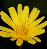 razilka smrdutá <i>(Aposeris foetida)</i> / Květ/Květenství