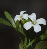 řeřišnice rýtolistá <i>(Cardamine resedifolia)</i> / Květ/Květenství