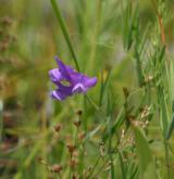 hrachor bahenní <i>(Lathyrus palustris)</i> / Květ/Květenství