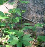 lilie zlatohlavá <i>(Lilium martagon)</i> / Habitus