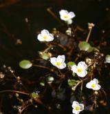 žabníček vzplývavý <i>(Luronium natans)</i> / Květ/Květenství