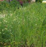 Ruderální vegetace vzpřímených jednoletých bylin <i>(Atriplicion)</i>