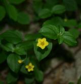 vrbina hajní <i>(Lysimachia nemorum)</i>