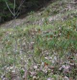rojovník bahenní <i>(Rhododendron tomentosum)</i> / Habitus