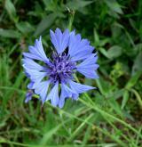 chrpa modrá  <i>(Centaurea cyanus)</i> / Květ/Květenství