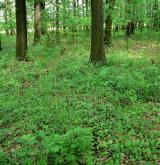 pstroček dvoulistý <i>(Maianthemum bifolium)</i> / Porost