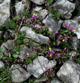 zimostrázek alpský <i>(Polygala chamaebuxus)</i> / Habitus