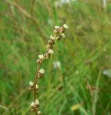 bařička bahenní <i>(Triglochin palustris)</i> / Květ/Květenství
