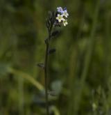 pomněnka různobarvá <i>(Myosotis discolor)</i> / Květ/Květenství