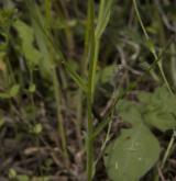 pomněnka různobarvá <i>(Myosotis discolor)</i> / Stonek