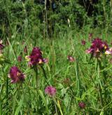 černýš hřebenitý <i>(Melampyrum cristatum)</i> / Habitus