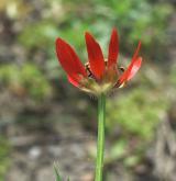 hlaváček plamenný <i>(Adonis flammea)</i> / Květ/Květenství