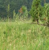 válečka prapořitá <i>(Brachypodium pinnatum)</i> / Porost