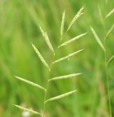 válečka prapořitá <i>(Brachypodium pinnatum)</i> / Květ/Květenství
