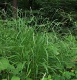 válečka lesní <i>(Brachypodium sylvaticum)</i> / Habitus
