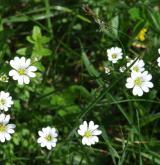 rožec rolní <i>(Cerastium arvense)</i> / Květ/Květenství