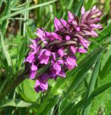 prstnatec májový <i>(Dactylorhiza majalis)</i> / Květ/Květenství