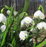 bledule jarní <i>(Leucojum vernum)</i> / Habitus