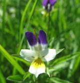 violka rolní <i>(Viola arvensis)</i> / Květ/Květenství