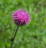sinokvět měkký <i>(Jurinea mollis)</i> / Květ/Květenství
