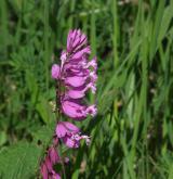 vítod větší <i>(Polygala major)</i> / Květ/Květenství