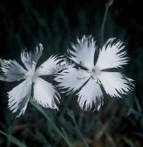 hvozdík písečný <i>(Dianthus arenarius)</i> / Květ/Květenství