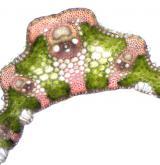 válečka prapořitá <i>(Brachypodium pinnatum)</i> / List