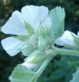 proskurník lékařský <i>(Althaea officinalis)</i> / Květ/Květenství
