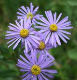 hvězdnice chlumní <i>(Aster amellus)</i> / Květ/Květenství