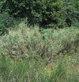 židoviník německý <i>(Myricaria germanica)</i> / Habitus