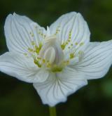 tolije bahenní <i>(Parnassia palustris)</i> / Květ/Květenství