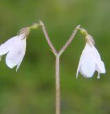 zimozel severní <i>(Linnaea borealis)</i> / Květ/Květenství