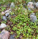 zimozel severní <i>(Linnaea borealis)</i> / Porost