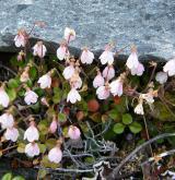 zimozel severní <i>(Linnaea borealis)</i> / Habitus