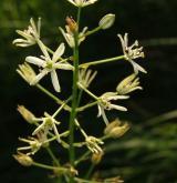 snědek pyrenejský <i>(Ornithogalum pyrenaicum)</i> / Květ/Květenství