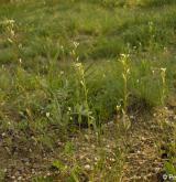 huseník ouškatý <i>(Arabis auriculata)</i> / Porost