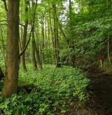 Údolní jasanovo-olšové luhy a tvrdé luhy nížinných řek <i>(Alnion incanae)</i> / Porost