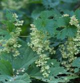 chmel otáčivý <i>(Humulus lupulus)</i> / Květ/Květenství