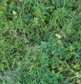 Mezofilní bylinné lemy <i>(Trifolion medii)</i> / Porost
