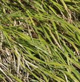 válečka prapořitá <i>(Brachypodium pinnatum)</i> / Habitus