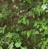 Štěrbinová vegetace bazických skal <i>(Cystopteridion)</i> / Porost