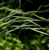 válečka lesní <i>(Brachypodium sylvaticum)</i> / Květ/Květenství