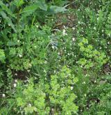 Bazifilní plevelová vegetace v kulturách okopanin <i>(Veronico-Euphorbion)</i>