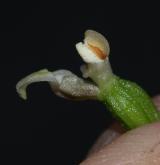 kruštík moravský <i>(Epipactis moravica)</i> / Květ/Květenství